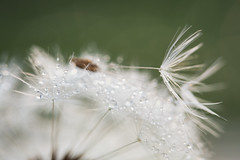 Dandelion dew drops (Erroba) Tags: canon 5d markiii dandelion flower macro drops water dew