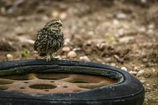 Kwik Fit Little Owl (2 of 3)