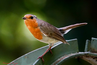 Rouge-gorge familier  Robin