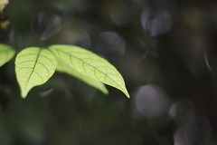venation (leianess+) Tags: canon eos 77d canonef50mmf18stm nature leaf leaves venation