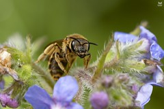 """""""abelha"""" - """"bee"""" (Nuno Xavier Moreira) Tags: abelha bee macro nuno xavier lopes moreira"""