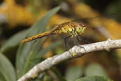 Odonata (Jacko 999) Tags: ordonata anisoptera insect dradonfly macro fly beautiful pretty predator robert eede canon eos 5ds r ef100mm f28l is usm ƒ110 1000mm 1100 iso200 macrodreams dreams