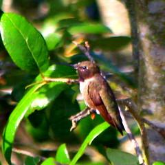 Black-chinned Hummingbird (austexican718) Tags: texas native fauna centraltexas hillcountry hummingbird wildlife animal bird backyard tree liveoak canon telephoto eos70d ef70300mm456isusm birdwatcher