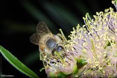 Honey Bee (Stefan Beckhusen) Tags: honeybee bee honey insect flower blossom blooming macro mpe nature verycloseup extremecloseup