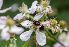 Great Pied Hoverfly - Volucella pellucens (markhortonphotography) Tags: small deepcut surrey greatpiedhoverfly macro large nature flower surreyheath bramble volucellapellucens insect wildlife hoverfly invertebrate
