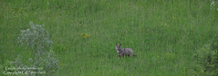 Loups solitaire 2 (gil streichert) Tags: canis lupus lobo lupo wolf parc national abruzzes