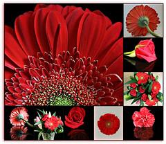2018 Sydney collage: Red flowers in June (dominotic) Tags: 2018 flower rose redrose redcarnation vaseofflowers waterdrops redgerbera collage redflowersinjune sydney australia