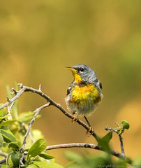 Northern Parula (N2NATURE PHOTOGRAPHY) Tags: guadalupe river state park northern parula male