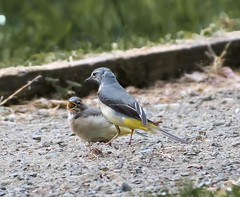 Grey Wag and chick