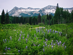 Lupine in the Mountains (KRHphotos) Tags: lupine landscape wildflowers keblerpass nature colorado meadow forest mountain somerset unitedstates us