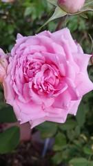 David Austin Rose Standard Mayflower (Clazie the Red) Tags: melissaclazie california roses davidaustinroses mayflower garden flora green flower day pink