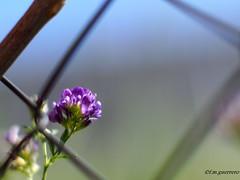 TRAS LA ALAMBRADA...TAMBIEN HAY BELLEZA. (franciscomartnez244) Tags: tubos de extensión flor silvestre