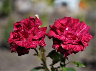 Garden, Roses, Flowers