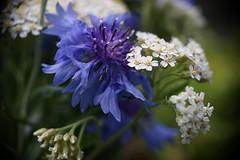DSC08857 (Old Lenses New Camera) Tags: sony a7r olympus zuiko penf automacro macro 38mm f35 plants garden flowers wildflowers