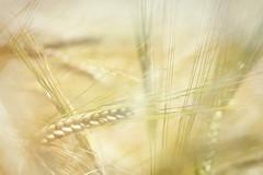 Barley - double exposure (aveyardphotography) Tags: barley crop light nature double exposure farming creative soft shallow focus terrington york england uk