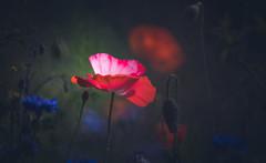 Poppy (Dhina A) Tags: sony a7rii ilce7rm2 a7r2 a7r tamron sp 500mm f8 tamronsp500mmf8 prime ad2 adaptall2 mirrorlens 55bb catadioptric reflex cf tele macro poppy flower bokeh