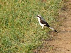 Greyback fiscal masai mara (jeaniephelan) Tags: birdsofthemasaimara bird africanbird