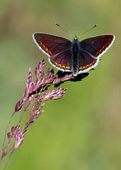 Brown Argus (Darren.Chapman) Tags: brown argus butterfly darren chapman grassland macro