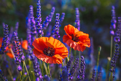 lavander for Cat , poppies.....too (Smo_Q) Tags: france lavender pentaxk3ii poppies