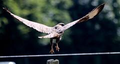 buse variable ( Bureo buteo ) Brech 180625j2 (papé alain) Tags: oiseaux rapaces busevariable buteobuteo commonbuzzard brech bretagne france