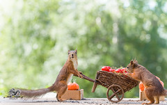 red squirrels hold a wheelbarrow and tomatoes (Geert Weggen) Tags: agriculture animal backgrounds closeup colorimage crop cultivated cute dirt environment environmentalconservation environmentaldamage environmentalissues food freshness gardening global greenhouse growth harvesting healthyeating horizontal humor lifestyles mammal nature newlife nopeople organic outdoors photography planetspace planetearth plant pollution red rodent seed socialissues springtime squirrel summer tomato vegetable garden wheelbarrow pumpkin bispgården jämtland sweden geert weggen ragunda hardeko