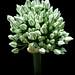 Onion Buds - Bourgeons d'oignon