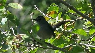 Gray Catbird, Cle Elum, WA 7/7/18