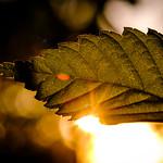 Leaf Flare thumbnail