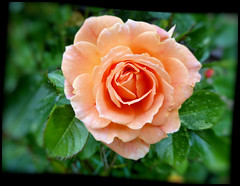 Rose 'Absent Friends'. (Country Girl 76) Tags: rose absent friends apricot bush garden flower bloom sadness remembrance