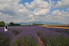 Champ de lavande (sami 51) Tags: lavande valensole alpesdehauteprovence france french nikon lavender provence sud extérieur outdoor