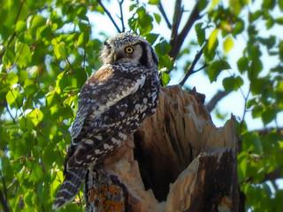 Day 4 - Hawk Owl