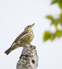 _V6A9679 (Tom Wilberding) Tags: tomwilberding anchorage alaska venttour northernwaterthrush kincaidpark