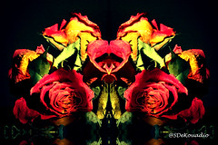 Roses #hypnotique (Stephenie DeKouadio) Tags: abstractflower abstract abstractart abstractflowers artwork art artistic hypnotique flowers flowersabstract flowerabstract flower beautiful beauty darkandlight light roses rose