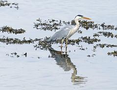 Grey Heron (eric robb niven) Tags: ericrobbniven scotland heron wildlife wildbird nature eden springwatch
