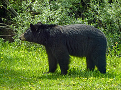 02 Black Bear seen from the bus (annkelliott) Tags: alberta canada icefieldsparkwaytrip highway93 nature animal wild wildanimal wildlife bear blackbear ursusamericanus sideview feeding grass bushes closetoroad seenfrombus outdoor summer 23june2018 fz200 fz2004 panasonic lumix annkelliott anneelliott ©anneelliott2018 ©allrightsreserved