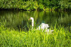 Swans seem to be as common as black birds.  Very pretty and some are really big.