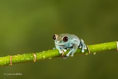 Ruby-eyed Tree Frog D50_7991.jpg (Mobile Lynn) Tags: amphibian frog nature rubyeyedtreefrog captive fauna wildlife bournemouth england unitedkingdom gb coth specanimal coth5 ngc npc captivelight
