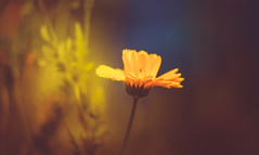 Marigold (Dhina A) Tags: sony a7rii ilce7rm2 a7r2 a7r eltan elite optics 90mm f22 eltaneliteoptics90mmf22 35mm slide projection projector lens bokeh
