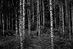 IMG_0265 (www.ilkkajukarainen.fi) Tags: suomi finlande finland eu europa scandinavia uusimaa countyride 2018 blackandwhite mustavalkoinen summer kesä kotimaan matkailu koivu metsä forest maaseutu