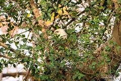 Peek at a Buzzard (PB2_2706) (Param-Roving-Photog) Tags: longlegged buzzard raptor birdofprey bird wildlife nature forest jungle dhaulkhand rajaji nationalpark uttarakhand india peek glimpse dense foliage wildlifephotographer birdphotography birding nikond7200 tamron150600 wildlifesafari