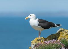 Great Black-backed Gull (tickspics ) Tags: gulls birds greatblackbackedgull scotland lunga isleofmull uk argyllandbute innerhebrides laridae larusmarinus mull treshnishisles