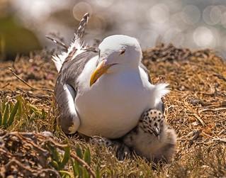 Western Gull_14