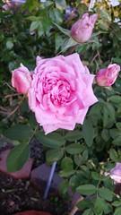 David Austin Rose Standard Mayflower (Clazie the Red) Tags: melissaclazie california roses mayflower davidaustinrose garden flora green flower day pink blossom