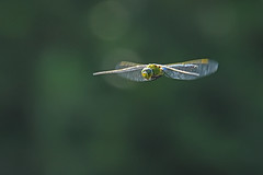 Libellule (Yves.Henchoz) Tags: nikond5 nature sauvage genève suisse switzerland swiss svizzera tamron150600 libellule libelluleenvole