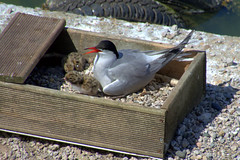 Nesting Terns at Preston Docks (Tony Worrall) Tags: update place location uk england north visit area attraction open stream tour country item greatbritain britain english british gb capture buy stock sell sale outside outdoors caught photo shoot shot picture captured ashtononribble ashton prestondocks prestonmarina docks marina wet water waterside nature birds terns nest nesting baby young chicks bird natural