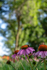 184:365 - A Drink or Two (LostOne1000) Tags: marionsquare echinacea cy365 flowers plants nature uptown 365challenge iowa 365the2018edition 3652018 pentax2470f28edsdm 030718 bumblebee day184365 locations marion pentax pentaxlenses bee linncounty photography camera july animals unitedstates pentaxk1 equipment insects us