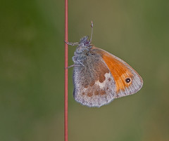 JWL6953  Small Heath.. (jefflack Wildlife&Nature) Tags: smallheath butterflies butterfly lepidoptera insects insect wildlife grasslands heathland heaths moorland meadows hedgerows glades countryside copse wildlifephotography jefflackphotography nature