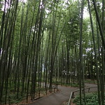 Bamboo forest, Kyoto thumbnail