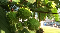 Horse Chestnut (Aesculus hippocastanum) - young fruit close up - July 2018 (Exeter Trees UK) Tags: horse chestnut aesculus hippocastanum young fruit close up july 2018