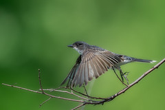 KingbirdTakeoff1 (jmishefske) Tags: 2018 kingbird nikon flying milwaukee pond fly bif lagoon westallis greenfield bird flight july park eastern d850 county wisconsin